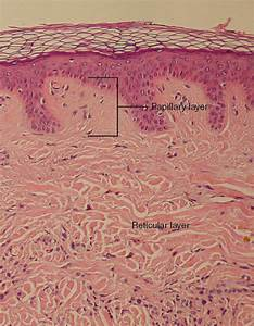 This Micrograph Shows Layers Of Skin In A Cross Section