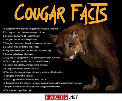 Facts Cougar Cougars Diet Behavior North Cats