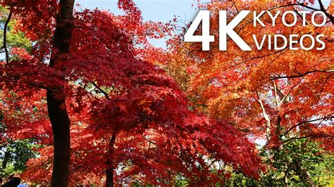 kyoto japan  autumn leaves fdr ax youtube