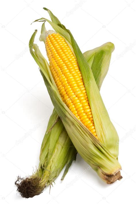ear  corn isolated   white background stock photo