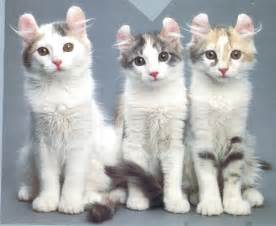 american curl cat small cat breeds dogs cats and animals