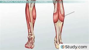 Leg Muscles  Anatomy  Support  U0026 Movement