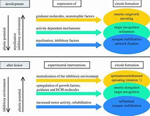 Sprouting  Regeneration And Circuit Formation In The