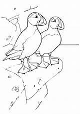 Puffin Coloring Pages Rock Bird Print Animal Puffins Atlantic Drawings Rocky Standing Cute Printable Momjunction Toddlers Crafts Cliff Sheets Getcolorings sketch template