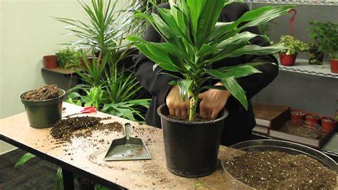 How To Plant Dracaena  Gardening & Plant Care Youtube