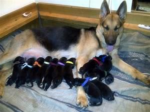 German Shepherd Puppies Pups For Sale Fleischerheim .html ...