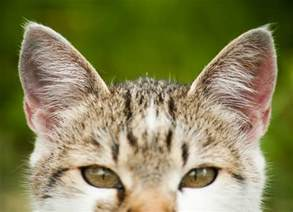 cats ears ear cancer in cats petmd