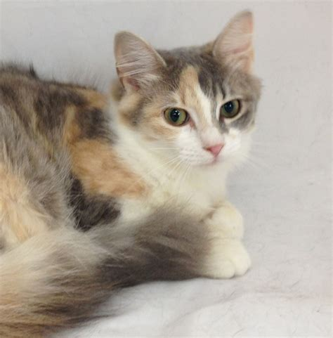 Adopted Adoptable Angel Angelica Atl Dilute Calico 5