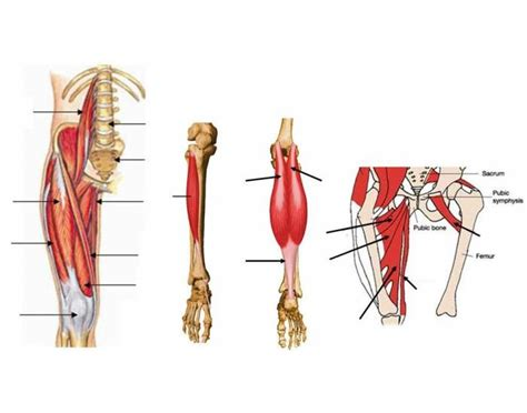 Upper And Lower Leg Muscles