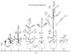 bonsai pruning diagrams google search pine juniper With wiring pine bonsai
