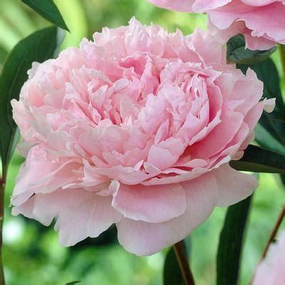 Lade Di Sale Rosa by Peony Alexandra Duff Sorbet Longfield Gardens