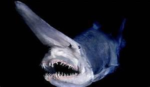 Life of Goblin Shark | Life of Sea