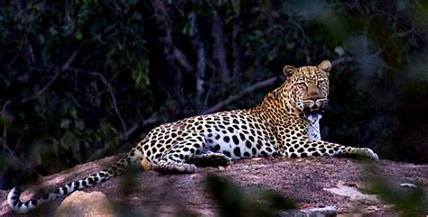 Lair Of The Leopard To Cache Kills, Leopards Prefer Caves