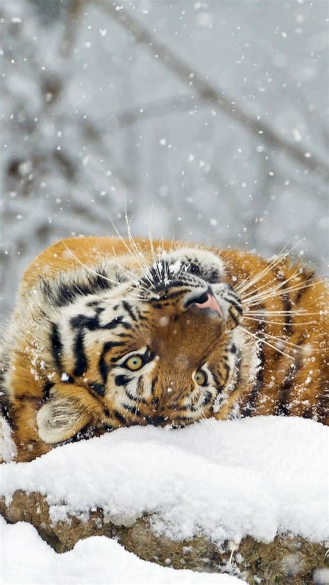 wallpaper tiger cute animals snow winter  animals