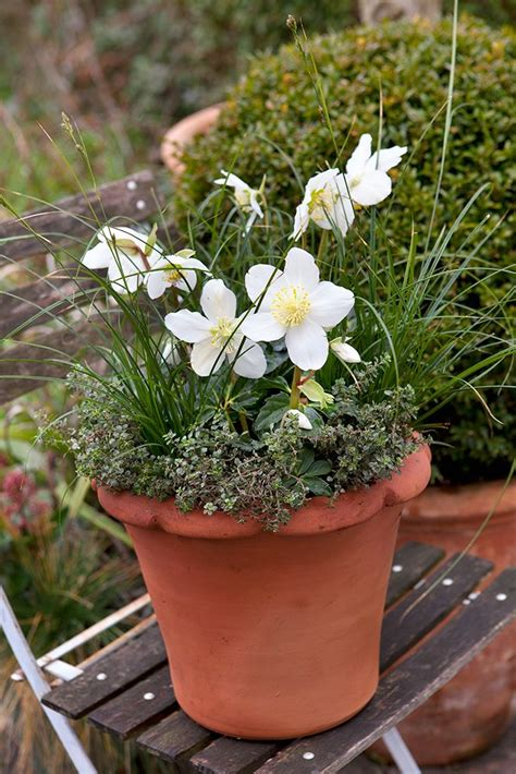 growing hellebores in containers 17 best images about pots for every month on pinterest plant pots lavandula angustifolia and