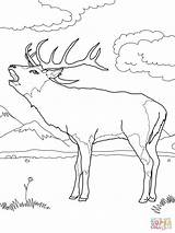Deer Coloring Pages Printable Buck European Supercoloring Mule Colouring Western Realistic Wood Adult Elk Dede Looking Burning Christmas Templates Number sketch template