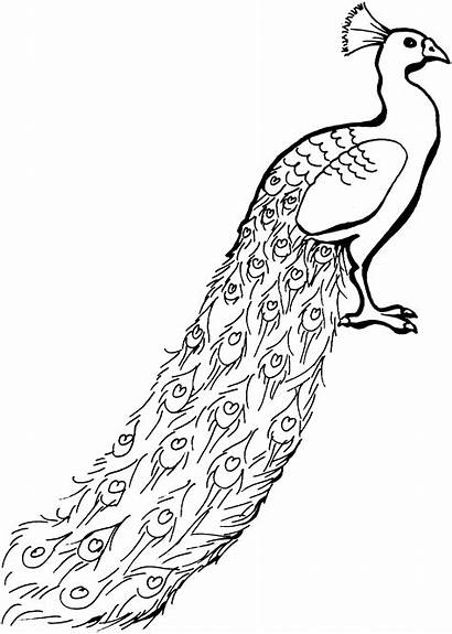 Peacock Coloring Pages Animals Glorious Wildlife