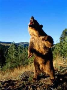 Angry Bear Standing | Inspiration-Oksi | Pinterest | Bears
