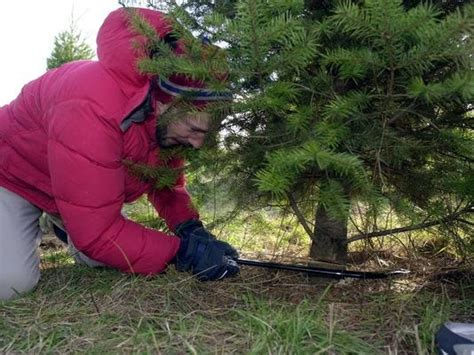 cut down your own christmas tree edmonton trees where to chop your own
