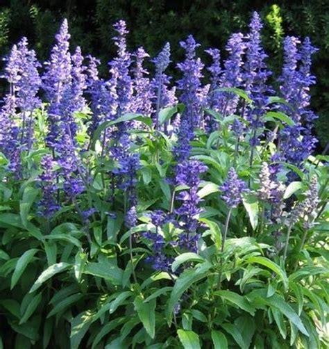blue salvia salvia sage seeds victoria blue salvia farinacea beautiful color easy care