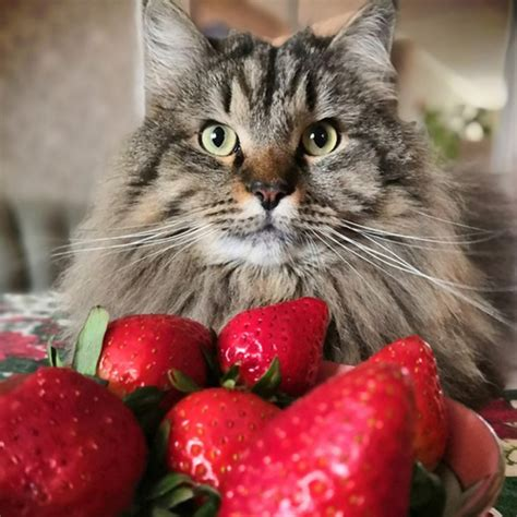 can cats have raspberry sorbet