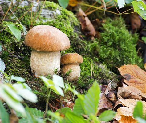 si鑒e habitat funghi porcini sono coltivati o si raccolgono nei boschi