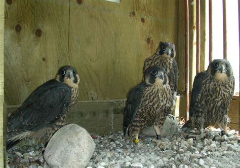 the canadian peregrine foundation party invitations ideas