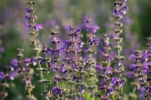 La Sauge Plante : les avantages de planter la sauge dans son jardin avant gardening ~ Melissatoandfro.com Idées de Décoration