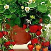 fragole vaso fragole in vaso alberi da frutto coltivare in vaso le