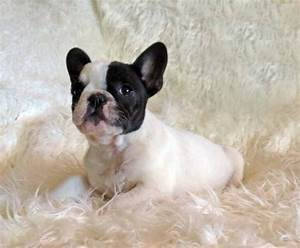 Teacup French Bulldog Images - Reverse Search