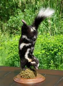 Spotted Skunk Spray