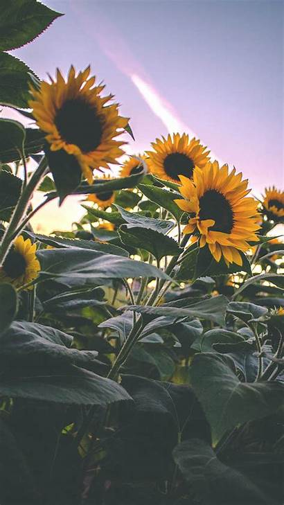 Iphone Sunflower Wallpapers Pretty Super