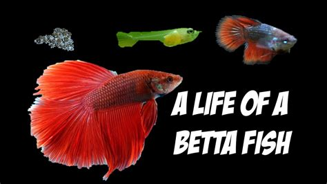 how do beta fish live a life of a betta youtube