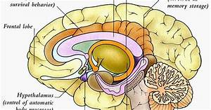 Human U0026animal Anatomy And Physiology Diagrams  Human Brain