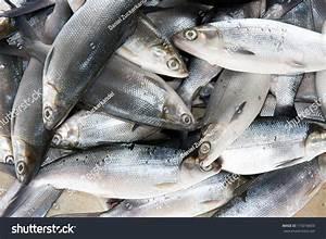 Fresh Milkfish Bangus Philippines Fish Market Stock Photo ...