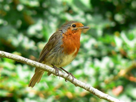 robin bird facts robin bird species diet