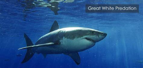 Megalodon Shark Evolution Timeline