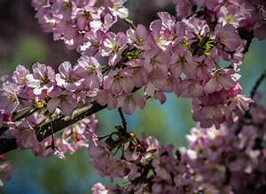 Cherry Blossoms Bloom In Washington D C