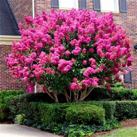 25 best ideas about lagerstroemia on crepe