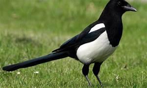 Elster Vogel Vertreiben : vogelwelt im eigenen garten elster das haus ~ Lizthompson.info Haus und Dekorationen