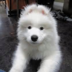 a siberian husky or a samoyed