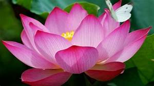 Pink Lotus Flowers And A Butterfly Hd Wallpaper 72i38