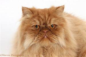Ginger Persian male cat photo WP34596