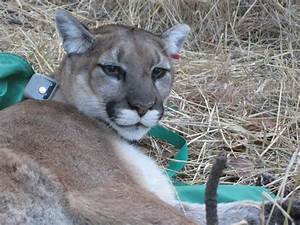 Cougar population is stable in county, state   Members ...