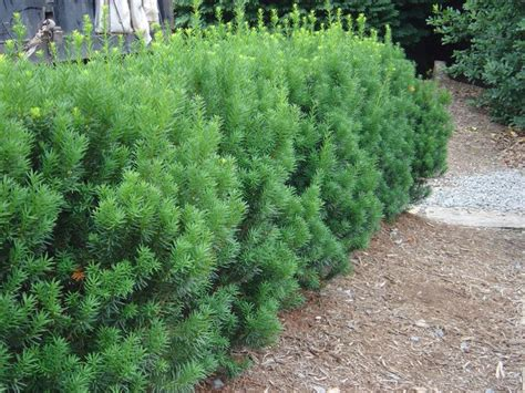 yew bush 38 best pacific grove plants images on pinterest garden ideas evergreen shrubs and plants