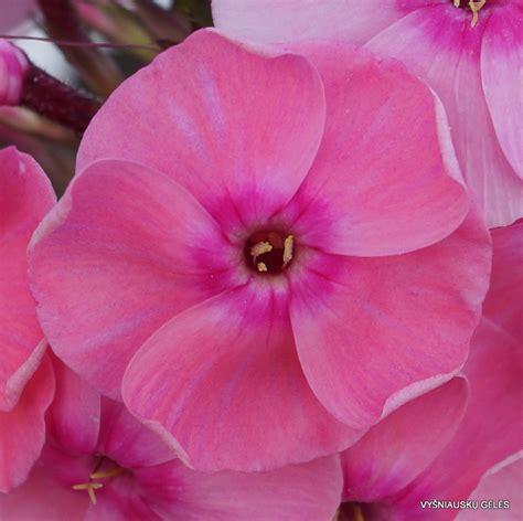 'Iedzenu Mainīgā' - Vyšniauskų gėlės