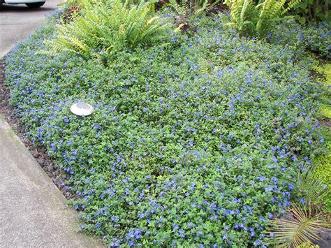 blue ground cover brazilian dwarf morning glory blue daze evolvulus glomeratus
