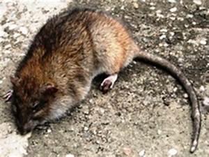 Ratten Im Kompost : was ist zu tun bei rattenbefall ~ Lizthompson.info Haus und Dekorationen