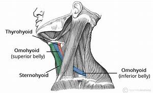 The Infrahyoid Muscles - Attachments - TeachMeAnatomy