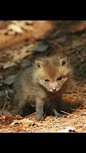 Cute baby red fox!!!!!! | Fox In The Wild ♥ | Pinterest